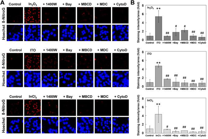 """Effects of iNOS and endocytosis inhibitors on indium-induced 8-nitroG formation. ( A ) Fluorescent images of 8-nitroG formation in indium-treated A549 cells. A549 cells were treated with 200 ng/ml of In 2 O 3 , ITO and InCl 3 for 4 h at 37 °C. The cells were co-treated with 1400 W, Bay, MBCD, MDC and CytoD and 8-nitroG formation was detected by immunocytochemistry as described in """" Methods """" section. The nucleus was stained with Hoechst 33258. Magnification, × 200. ( B ) Quantitive image analysis for the effects of iNOS and endocytosis inhibitors on indium-exposed A549 cells. The staining intensity per area was quantified with an ImageJ software, and the relative intensity of the control was set at 1. The data were expressed as means ± SD of 3–4 independent experiments. ** p"""