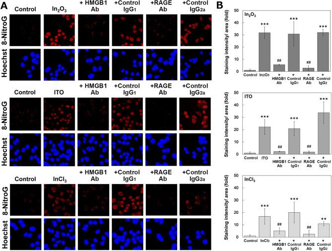 """Effects of HMGB1 and RAGE antibodies on 8-nitroG formation in indium-treated A549 cells. ( A ) Fluorescent images of 8-nitroG formation in indium-treated A549 cells and effects of antibodies. A549 cells were pretreated with 10 µg/ml of anti-HMGB1 and anti-RAGE antbodies and their isotype control IgGs for 30 min, followed by the treatment with 200 ng/ml of In 2 O 3 , ITO and InCl 3 as described in """" Methods """" section. 8-NitroG was detected by immunocytochemistry. The nucleus was stained with Hoechst 33258. Magnification × 200. ( B ) Quantitative image analysis for the effects of antbodies on 8-nitroG formation in indium-treated A549 cells. Staining intensities of 8-nitroG per area were analyzed with an ImageJ software. The relative intensity of the control was set at 1. The data were expressed as means ± SD of 3–4 independent experiments. ** p"""