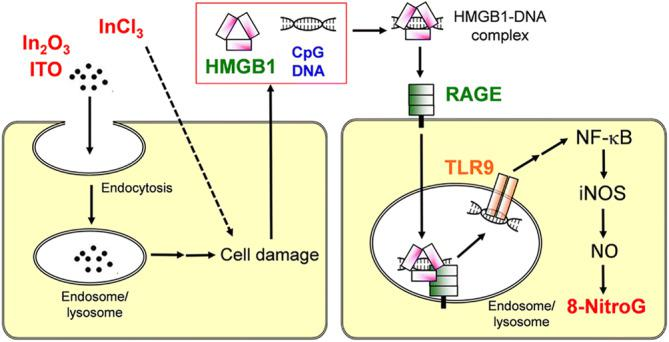 Proposed mechanism of indium-induced DNA damage in A549 cells.