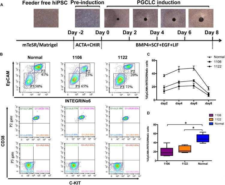 Specification of PGCLCs from idiopathic NOA patient-specific iPSCs. (A) Schematic protocol for hPGCLCs specification from idiopathic NOA patient-specific iPSCs and images of hiPSCs, iMeLCs, and floating embryoids containing hPGCLCs. (B) (Top)Fluorescence-activated cell sorting analysis by EpCAM and INTEGRINα6 expression of day 4 embryoids differentiated from NOA iPSCs and normal hiPSCs. P2 and P3 gates (boxed areas) indicate EpCAM/INTEGRINa6-high and -low/no cells, respectively. The percentages of cells in the P2 and P3 gates are shown. (Bottom) Fluorescence-activated cell sorting analysis by c-KIT and CD38 of the two populations on the top classified by EpCAM and INTEGRINa6 expression. (C) Percentage of EpCAM/INTEGRINα6 double-positive cells in days 2, 4, 6, and 8 floating embryoids determined by FACS. Error bars indicate mean ± SD of three independent experiments. (D) Percentage of EpCAM/INTEGRINα6 double-positive cells in day 4 embryoids determined by FACS. The experiments were performed independently for more than six times. Black central line represents the median; boxes represent the 25th and 75th percentiles, and whiskers represent the maximum and minimum. Comparisons were conducted using Wilcoxon signed-ranks test. Asterisk indicates statistically significant differences ( P