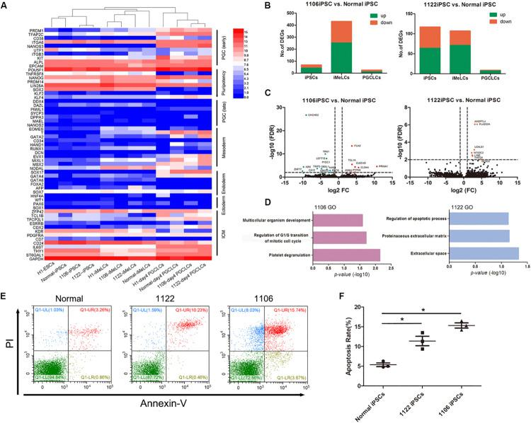 Differentially expressed gene analysis between PGCLCs derived from NOA and normal hiPSCs. (A) Heat map of gene expression of key PGC-associated genes (early and late stage) and of pluripotency, mesoderm, endoderm, ectoderm, and ICM genes. (B) Numbers of genes upregulated or downregulated at key stages during PGCLC specification of NOA 1106 iPSCs (left) and NOA 1122 iPSCs (right) compared with that of normal iPSCs. (C) Volcano plot of the DEGs in PGCLCs derived from NOA 1106 iPSCs (left) and NOA 1122 iPSCs (right) compared with PGCLCs derived from normal iPSCs. The red dots indicate genes upregulated, and the green dots indicate genes downregulated. (D) Enriched GO terms in the upregulated genes of PGCLCs derived from NOA 1106 iPSCs (left) and NOA 1122 iPSCs (right) compared with PGCLCs derived from normal iPSCs. Primordial germ cell–like cells, the EpCAM, and INTEGRINα6 double-positive cells in day 4 embryoids. (E) Fluorescence-activated cell sorting analysis by annexin V and PI staining for day 4 embryoids differentiated from NOA iPSCs and normal hiPSCs. The percentages of cells in the four quadrants are shown. (F) Apoptotic rates of day 4 embryoids differentiated from NOA iPSCs and normal hiPSCs. Error bars indicate mean ± SD of three independent experiments. Comparisons were conducted using ANOVA. Asterisk indicated statistically significant differences ( P