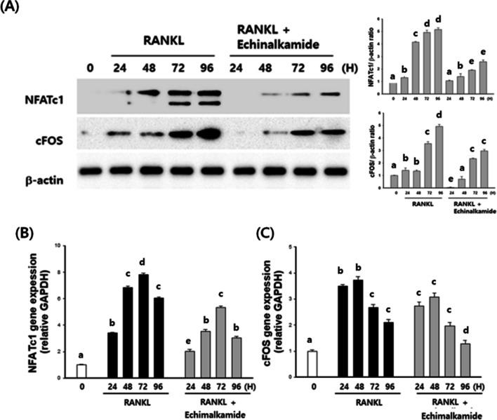 Echinalkamide inhibits the RANKL-mediated expression of c-Fos/NFATc1. BMMs were stimulated with 100 ng/mL RANKL with 30 μM echinalkamide for the indicated periods (0, 24, 48, 72 or 96 h). ( A ) The effect of echinalkamide on the protein expression levels of RANKL-induced transcription factors was evaluated using western blot analysis. Actin was used as the internal control. Full blots are provided in Supplementary Fig. S01 . ( B , C ) Total RNA was then isolated using easy blue kit, and the mRNA expression levels were evaluated using real-time PCR. GAPDH was used as the internal control. All the data were confirmed by technical replicated (n = 3). The results are presented as the mean ± SD. Values with different letters (a, b, c, d, e) are significantly different one from another (one-way ANOVA followed by Newman-Keuls multiple range test, p