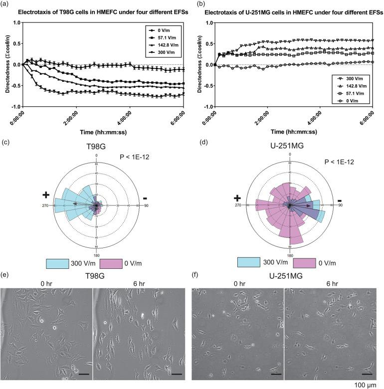 The electrotaxis and electro-alignment of T98G and U-251MG glioblastoma cells in HMEFC. (a) The electrotaxis directedness of T98G cells in four different electric field strengths (EFSs); (b) the electrotaxis directedness of U-251MG cells in four different EFSs; [(c) and (d)] The rose plots showing the frequency of T98G (c) and U-251MG (d) electrotaxis with and without electric field. The r-vectors displaying the direction tendencies of each group are indicated by arrows; P values in Mardia–Watson–Wheeler tests are shown; (e) phase contrast images of T98G and (f) U-251MG cells before and after 6 h under 300 V m −1 stimulation; the electric field is applied from left to right. Only T98G cells demonstrate prominent perpendicular alignment under the electrical stimulation.