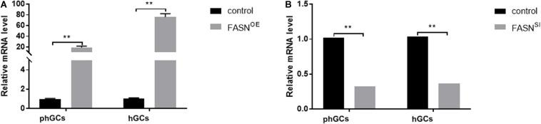 Efficiency of FASN overexpression or interference. (A) The expression levels of FASN of phGCs and hGCs were detected by qRT-PCR 48 h after treatment with FASN overexpression, respectively. (B) The expression levels of FASN of phGCs and hGCs were detected by qRT-PCR 48 h after treatment with FASN interference, respectively. OE, overexpression; SI, RNA interference; phGCs, pre-hierarchical GCs; hGCs, hierarchical GCs. The expression of FASN was normalized by β -actin , and the control was set as one. Results were presented as the mean ± SEM of three independent experiments (** P