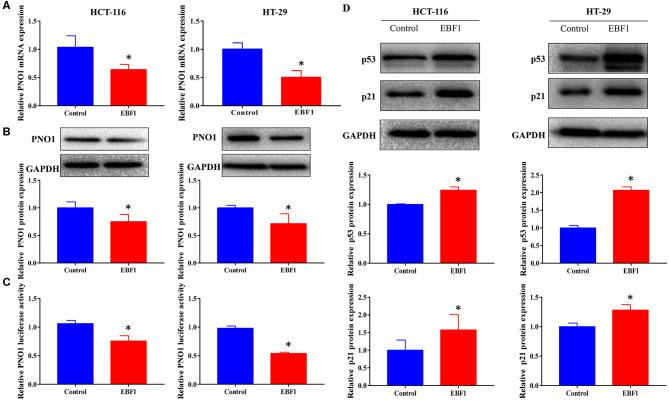 EBF1 over-expression down-regulates PNO1 and up-regulates p53 and p21 expression. (A,B) HCT-116 and HT-29 cells were stably transduced with EBF1 or control plasmid, and (A) Q-PCR and (B) western blotting were performed to determine the expression of PNO1, GAPDH was used as a loading control. (C) Luciferase assay was performed to determine the effect of EBF1 over-expression on PNO1 transcription in both HCT-116 and HT-29 cells. (D) Western blotting was performed to determine the protein expression of p53 and p21 in HCT-116 and HT-29 cells after EBF over-expression. GAPDH was used as a loading control. * P