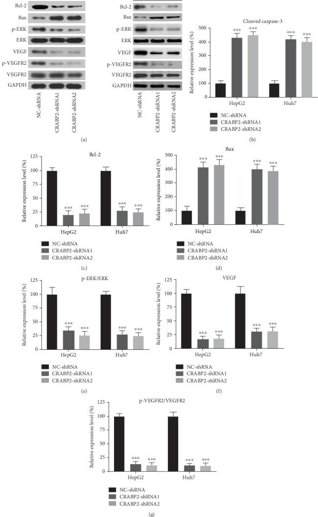 Effects of CRABP2 on ERK-VEGF pathway. (a)Western blotting results of ERK-VEGF pathway-related proteins and apoptosis-related proteins of HpeG2 and Hun7 cells. Expression of cleaved caspase-3 (b) and Bax (d) was increased, while Bcl-2 (c), p-ERK/ERK ratio (e), VEGF (f), and p-VEGFR2/VEGFR2 (g) decreased after CRABP2-shRNAs transfection in HpeG2 and Hun7 cells. n = 7. One-way ANOVA was used in multigroup comparison. All data are presented as mean ± SEM. ∗∗ P