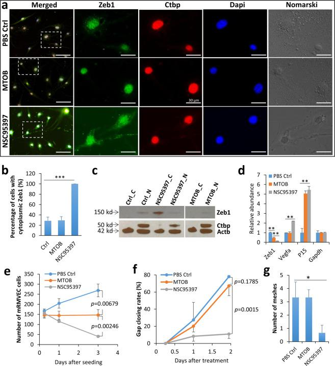 """Treatment with the <t>ZEB1–CtBP</t> inhibitor NSC95397 causes translocation and reduction of Zeb1, proliferation, migration, and tube formation of mRMVECs. Compared to PBS control, ( a – b ) one-day 10 µM NSC95397 treatment translocated Zeb1 from the nucleus to the cytosol in mRMVECs while 10 mM MTOB had no such an effect. c This Zeb1 translocation was validated by WB on nuclear and cytosolic fractions of total protein samples isolated from the PBS control, NSC95397- or MTOB-treated mRMVECs using Ctbp and Actb antibodies as relevant nuclear and cytosolic controls though Actb also showed high expression in the nucleus as reported 43 . """"C"""" for cytosolic fraction while """"N"""" for nuclear fraction. d Both 10 mM MTOB and 10 µM NSC95397 significantly reduced Zeb1 mRNA in mRMVECs and e cell proliferation rates, but only 10 µM NSC95397 significantly reduced ( f ) cell migration, and g cell tube formation. * p ≤ 0.05; ** p ≤ 0.01. Scale bars represent 100 µm."""