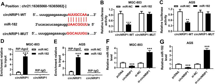 The association between circNRIP1 and miR-182 in gastric cancer cells. ( A ) starBase online predicted the binding sites of circNRIP1 and miR-182. ( B – E ) Luciferase reporter assay and RIP were used to analyze the association between circNRIP1 and miR-182 in MGC-803 and AGS cells transfected with miR-182 or miR-NC. ( F and G ) qRT-PCR assay detected the abundance of miR-182 in MGC-803 and AGS cells transfected with pcDNA, circNRIP1, si-NC or si-circNRIP1. ** P