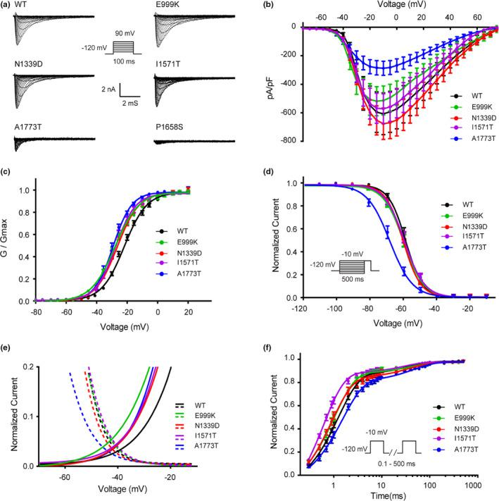 Epilepsy‐associated mutations alter the function of the Nav1.2 channel. (a) Representative whole‐cell patch‐clamp traces of voltage‐dependent currents recorded from <t>HEK293T</t> cells transfected with either Nav1.2 wild‐type or mutant channels. Cells were held at −120 mV and sodium currents were evoked by a series of depolarizing pulses (100 ms) to potentials ranging from −80 mV to +90 mV in steps of 5 mV (inset). (b) Normalized I‒V curves of peak sodium current density (in pA/pF) versus voltage for WT and mutations. (c) Voltage dependence of activation obtained by plotting the normalized conductance against test potentials with equation G/G max = 1/(1 + exp(V 0.5 − V)/k, where the G max is the maximum conductance, V 0.5 is the half‐maximal activation potential and k is the slope factor. the curve is fitted to a Boltzmann function. (d) Steady state of fast inactivation of WT and mutant Nav1.2 channels. The voltage dependence of fast inactivation was assessed by applying a double‐pulse protocol: 500‐ms prepulses were applied from −150 to 0 mV in steps of 10 mV and followed by a test pulse to −10 mV (inset). The steady‐state fast inactivation curve was fitted by the Boltzmann equation (I/Imax = {1 + exp[(V − V 0.5 )/k]} − 1). (e) Window currents of WT the mutations. Activation curves (fraction of maximum conductance, G/G max ) and steady‐state inactivation (fraction of maximum current, I/Imax) of WT and the mutations are enlarged and plotted together to show the window currents. (f) The time course of recovery from fast inactivation. Recovery from fast inactivation was assessed by a two‐pulse recovery protocol with varying time intervals between a 500‐ms inactivating prepulse and a test pulse to −10 mV (inset). The time course of recovery from inactivation was fitted with a double‐exponential function to generate τ1 and τ2. All fitting results are listed in Table 1 . Data are presented as the mean ± SEM