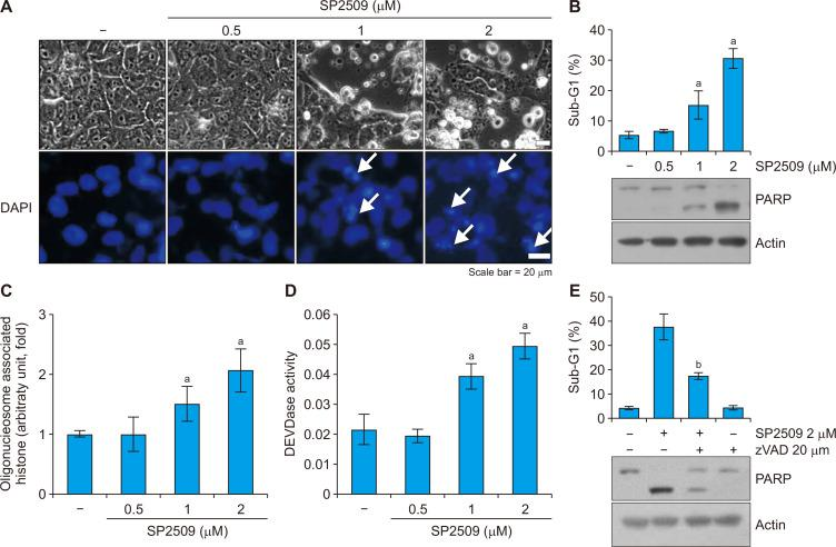 LSD1 inhibitor SP2509 induces apoptosis. (A) Caki cells were treated with SP2509 (0.5-2 μM) for 24 hours. The cell morphology and nuclear condensation were examined by using an interference light microscope. White arrows showed nuclear chromatin condensation. (B) The sub-G1 population and protein expression were analyzed by flow cytometry and Western blotting. (C) The fragmentation of the nuclei was determined by using a DNA fragmentation assay kit. (D) Caspase activity was determined by using the caspase DEVDase assay kit. (E) Caki cells were treated with SP2509 (2 μM) in the presence or absence of a pan-caspase inhibitor, z-VAD-fmk (20 μM) for 24 hours. The sub-G1 population and protein expression were analyzed by flow cytometry and Western blotting. The values in graphs represent the mean ± SD of three independent samples. DAPI, 4', 6'-diamidino-2-phenylindole. a P