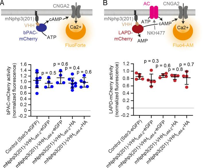 Activity measurements in HEK-TM cells. ( A ) <t>bPAC</t> activity measurements in HEK-TM cells. HEK293 cells express the CNGA2-TM ion channel, which opens upon cAMP binding and conducts Ca 2+ (HEK-TM). bPAC-mCherry was co-expressed with the mNphp3(201)-tagged mCherry nanobody. Light-dependent activation of bPAC increases intracellular cAMP levels, leading to a Ca 2+ influx, which was quantified using a fluorescent Ca 2+ dye (GFP-certified FluoForte). bPAC activity was determined in the presence of mNphp3(201)-VHH LaM-2 or mNphp3(201)-VHH LaM-4 (fused to HA or eGFP). Co-expression with the ciliary protein Sstr3-eGFP was used as a negative control (ciliary localized protein, but not binding to bPAC or LAPD). bPAC activity was determined according to the maximum amplitude of the Ca 2+ signal after light stimulation (465 nm light pulse, 1 s, 162 µW/cm²) compared to the ionomycin-evoked Ca 2+ signal. 5 min before light stimulation, cells were treated with 25 µM of <t>IBMX</t> to inhibit phosphodiesterases and sustain a long-lasting increase in cAMP. NT: non-transfected cells. ( B ) LAPD activity measurements in HEK-TM cells. To measure LAPD activity, HEK-TM cells were pre-stimulated with 100 μM NKH477 to activate transmembrane adenylate cyclases (AC), thus increasing cAMP levels. Ca 2+ influx was detected by a Ca 2+ dye (Fluo4-AM). LAPD activity was determined in the presence of mNphp3(201)-VHH LaM-2 or mNphp3(201)-VHH LaM-4 (fused to HA or eGFP). Co-expression of the ciliary protein Sstr3-eGFP was used as a negative control (ciliary localized protein, but not binding to bPAC or LAPD). Fluo4-AM-loaded HEK-TM cells were incubated with 100 μM NKH477 during continuous 850 nm light illumination (0.5 µW/cm²). When reaching a steady-state, light was switched to 690 nm (0.5 µW/cm²) to stimulate LAPD activity. LAPD activity was determined as the maximal decrease compared to the maximal Ca 2+ signal amplitude after NKH477 addition. Data are shown as individual data points (each d