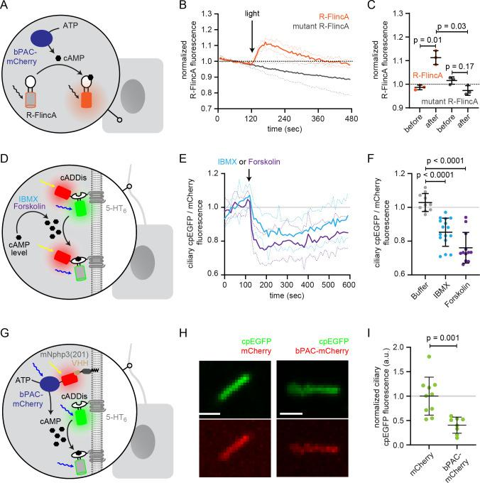 Functional characterization of bPAC in the cell body and cilium. ( A ) Schematic overview of the bPAC activity assay in non-ciliated HEK293 cells using R-FlincA (see B-C ). ( B ) HEK293 cells were transfected with bPAC-eGFP and R-FlincA or the non-binding R-FlincA mutant ( Ohta et al., 2018 ). The change in R-FlincA fluorescence was measured over time before and after photoactivation of bPAC (5 s, white light, 2.1 mW/cm 2 at 480 nm). Data are shown as mean (solid lines)± S.D. (dotted lines), n = 3 with 4 cells per experiment. ( C ) Normalized R-FlincA or R-FlincA mutant fluorescence directly before and for the maximal amplitude after photoactivation. Data extracted from C; p-values have been calculated using a paired, two-sided Student's t-test. ( D ) Schematic overview of the assay to measure ciliary cAMP dynamics using 5-HT 6 -mCherry-cADDis after pharmacologically increasing cAMP levels (see E-F). ( E ) Ciliary cAMP dynamics measured using 5-HT 6 -mCherry-cADDis. Cells were stimulated with 250 μM IBMX (light blue) or 40 μM Forskolin (purple). The normalized ratio of ciliary mCherry/cpEGFP fluorescence is shown as mean (solid lines)± S.D. (dotted lines); p-values have been calculated by paired, two-sided Student's t-test. ( F ) Mean change in the normalized ratio of ciliary mCherry/cpEGFP fluorescence 60–120 s after stimulation with buffer, IBMX, or Forskolin. Data are shown as individual data points, the mean ± S.D. is indicated; p-values have been calculated by a two-sided Mann-Whitney test. ( G ) Schematic overview of the assay to measure light-evoked ciliary cAMP dynamics after bPAC stimulation using 5-HT 6 -cADDis (see H-I). ( H ) 5-HT6-cADDis fluorescence in cilia with mNphp3(201)-VHH LaM-2 -HA targeted mCherry or bPAC-mCherry in the first frame of imaging. Scale bar: 2 μm. ( I ) Mean normalized ciliary cpEGFP fluorescence in the first frame. All data have been normalized to the mean cpEGFP fluorescence in the mCherry control. Data are shown as individual da