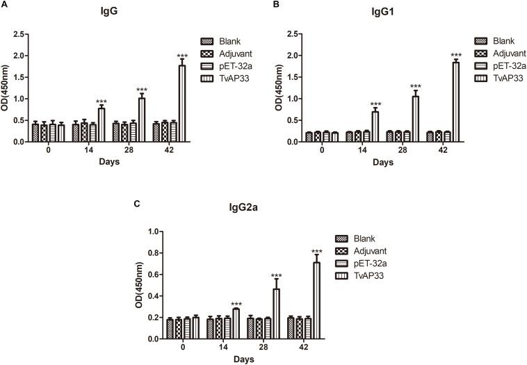 The dynamics of humoral response in BALB/c mice induced by recombinant TvAP33 protein. The BALB/c mice were randomly divided into four groups of five mice each ( n = 5). The BALB/c mice in group were immunized with recombinant protein TvAP33 mixed with Freund adjuvant (1:1), pET-32a protein mixed with Freund adjuvant (1:1), or Freund adjuvant alone, and the rest of the group as a blank control. The titers of IgG and the subclasses IgG1 and IgG2a were detected on days 0, 14, 28, and 42. The results were expressed as mean ± SD with respect to absorbance at 450 nm. Statistically significant differences ( P