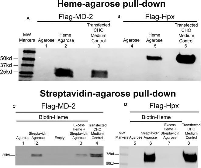 Heme binds to MD-2 in pull-down assays. Recombinant MD-2 and hemopexin (Hpx) were expressed by transfecting Chinese hamster ovary (CHO) cells with plasmids encoding human Flag-MD-2 or Flag-Hpx. Flag-Hpx served as a positive control for heme binding. After transfection, cells were washed and incubated for 72 h in protein-free CHO medium to allow the recombinant proteins to be transcribed, translated, and secreted into the CHO media. After 72 h, Flag-MD-2 ( A , lane 3 and C , lane 4) and Flag-Hpx ( B , lane 6 and D , lane 8) were present in the conditioned media of transfected CHO cells as demonstrated by a Western blot of the concentrated media with an anti-Flag primary antibody. (A,B) Heme-agarose pull-down assays. Conditioned CHO media containing (A) Flag-MD-2 or (B) Flag-Hpx were incubated overnight at 4°C with heme-agarose (lanes 2 and 5) or control agarose beads (lanes 1 and 4) and then pelleted, washed, and run on a Western blot with anti-Flag detection. (C,D) Streptavidin-agarose pull-down assays. Conditioned CHO media containing (C) Flag-MD-2 or (D) Flag-Hpx were incubated with 15 μM biotin-heme overnight at 4°C in the dark, then streptavidin-agarose (lanes 2, 3, 6, and 7) or control agarose (lanes 1 and 5) was added to the mixture for an additional 2 h at 4°C. After incubation, the agarose pellets were washed and run on Western blots with anti-Flag detection. To test the binding specificity of biotin-heme and recombinant Flag-MD-2 ( C , lane 3) and Flag-Hpx ( D , lane 7), conditioned CHO media were pre-incubated with an excess of unlabeled free heme (100 μM) for 2 h at 4°C before the incubation with 15 μM biotin-heme. The results shown are representative of four ( A and B ) and two ( C and D ) independent experiments, respectively.
