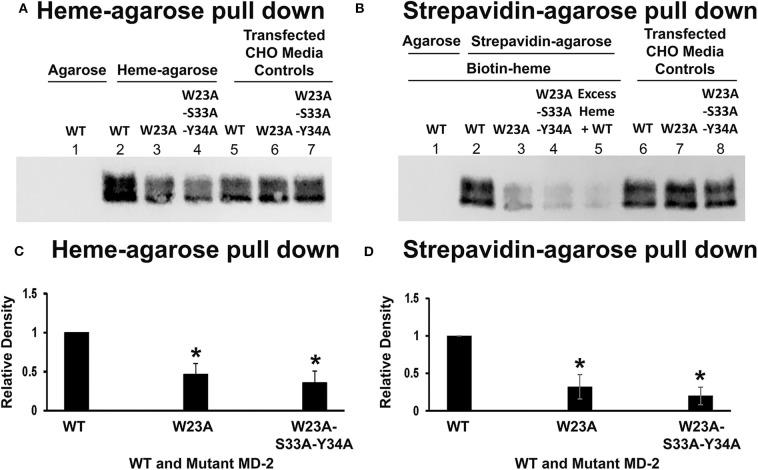Heme binds poorly to W23A and W23A-S33A-Y34A mutant MD-2. WT MD-2, W23A MD-2, and W23A/S33A/Y34A MD-2 with Flag tags were expressed in CHO cells and the MD-2-containing media were used in heme-agarose and biotin-heme/streptavidin-agarose pull-down assays. Three days after transfection, the conditioned CHO media contained similar amounts of WT, W23A, and W23A/S33A/Y34A MD-2 on Western blots using Flag detection ( A , lanes 5, 6, and 7 and B , lanes 6, 7, and 8). Heme-agarose pulled down only 47% of the W23A and 36% of the W23A/S33A/Y34A MD-2 mutants compared to WT MD-2 ( A , lanes 2, 3, and 4 and C ). WT MD-2 incubated with control agarose without heme was not pulled down ( A , lane 1). Similarly, the biotin-heme/streptavidin-agarose pulled down only 32% of the W23A and 20% of the W23A/S33A/Y34A MD-2 mutants compared to WT MD-2 ( B , lanes 2, 3, and 4 and D ). WT MD-2 incubated with biotin-heme was not pulled down by agarose without streptavidin ( B , lane 1). As previously shown, the addition of excess unlabeled heme markedly reduced the amount of WT MD-2 pulled down by biotin-heme/streptavidin-agarose ( B , lane 5). The results shown in (A,B) are representative of four independent experiments. (C,D) show the results of quantitation of the Western blots. Bars are means + SD. * P