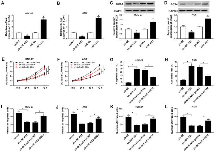 SOX4 overexpression reverses NNT-AS1 knockdown-mediated effects on GC cell proliferation, apoptosis, migration and invasion. (A-D) AGS and HGC-27 cells were transfected with sh-NNT-AS1, sh-NC, pcDNA, or NNT-AS1. The mRNA expression levels of SOX4 in (A) HGC-27 and (B) AGS cells. Protein expression levels of SOX4 in (C) HGC-27 and (D) AGS cells. *P
