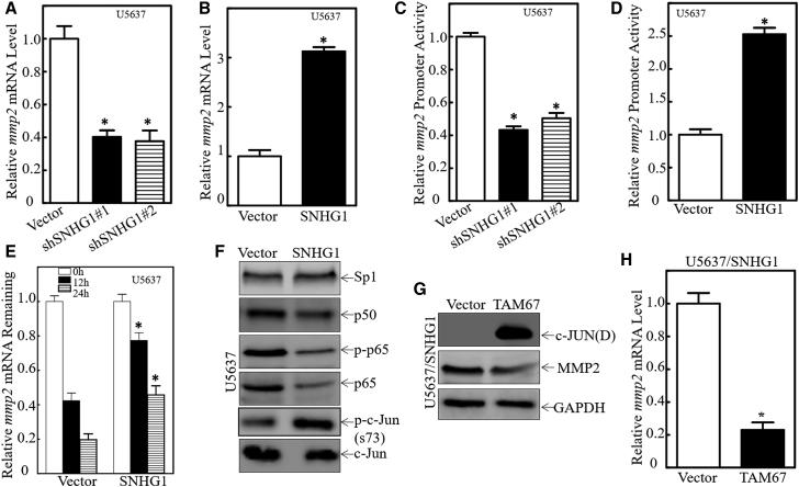 c-Jun Activation Mediated SNHG1-Promoted MMP2 Transcription in Human Basal MIBC Cells (A and B) MMP2 mRNA levels were evaluated in indicated transfectants using real-time PCR; GAPDH was used as an internal control. ∗p = 0.0085 in (A), and ∗p = 0.0073 in (B) (significant difference). (C and D) Indicated cells were transfected with MMP2 promoter-driven luciferase reporter together with pRL-TK. Transfectants were seeded into 96-well plates and then subjected to determine MMP2 promoter activity by measuring luciferase activity. pRL-TK was used as an internal control to normalize transfection efficiency. ∗p = 0.0088 in (C), and ∗p = 0.0081 in (D) (significant difference). (E) Indicated cells were seeded into 6-well plates. After synchronization, cells were treated with Act D for indicated times. Total RNA was then isolated and subjected to real-time PCR analysis of MMP2 mRNA levels; GAPDH was internal control. ∗p = 0.0095 (significant difference). (F) Indicated cell extracts underwent western blotting for determination of SP1, P50, p-P65, P65, p-c-Jun, and c-Jun expression. (G) TAM67 was stably transfected into U5637(SNHG1) cells, and the stable transfectants were then identified for c-Jun(D) (TAM67) expression and determination of MMP2; GAPDH was used as an internal control. (H) Indicated cells were extracted for total RNA with TRIzol. Real-time PCR was used to determine MMP2 mRNA expression; GAPDH was used as an internal control. Results shown are means ± SD from at least triplicate experiments. ∗p = 0.0005 (significant difference).