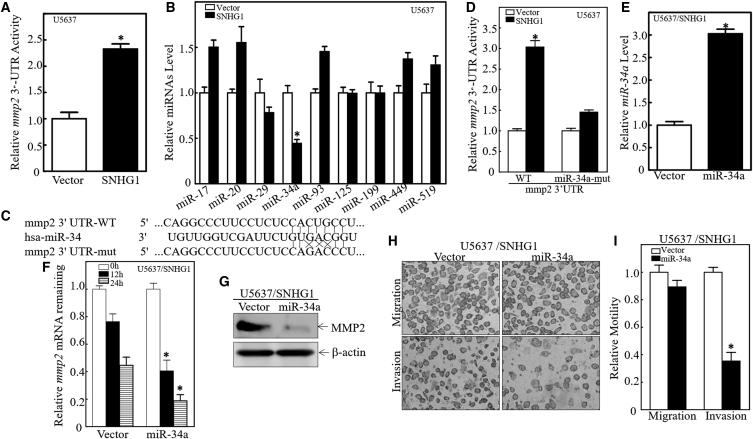 miR-34a Downregulation Was Crucial for SNHG1-Mediated MMP2 mRNA Stabilization and Invasion in Basal MIBC Cells (A) An MMP2 mRNA 3′ UTR luciferase reporter was transiently transfected into the indicated cells, and the luciferase activity of each transfectant was evaluated. Luciferase activity is presented as relative to vector transfectant with normalization to internal transfection control pRL-TK. ∗p = 0.0083 (significant difference). (B) Quantitative real-time PCR was used to determine expression of miRNA in indicated cells. ∗p = 0.0091 (significant difference). (C) Schematic of construction of the MMP2 mRNA 3′ UTR luciferase reporter and its mutants were aligned with miR-34a. (D) WT and mutant MMP2 mRNA 3′ UTR luciferase reporters were transiently co-transfected with pRL-TK into indicated cells. Luciferase activity of each transfectant was evaluated; results are presented as relative MMP2 mRNA 3′ UTR activity. ∗p = 0.0063 (significant difference). (E) miR-34a constitutively expressed plasmids were stably transfected into U5637(SNHG1) cells. Stable transfectants were identified by real-time PCR. ∗p = 0.0065 (significant difference). (F) U5637(SNHG1/miR-34a) cells and their scramble vector transfectant were seeded into 6-well plates. After synchronization, cells were treated with Act D for indicated times. Total RNA was isolated and subjected to quantitative real-time PCR analysis for MMP2 mRNA levels; GAPDH was used as internal control. ∗p = 0.0082 (significant difference) (G) Cell lysates extracted from indicated cells were evaluated by western blots to determine MMP2 protein expression; β-actin was loading control. (H and I) U5637(SNHG1/Vector) cells versus U5637(SNHG1/miR-34a) cells were evaluated in a Transwell invasion assay (H); invasion rate between them was normalized to insert control according to the manufacturer's instructions (I). Results shown are means ± SD from at least triplicate experiments. ∗p = 0.0074 (significant difference).