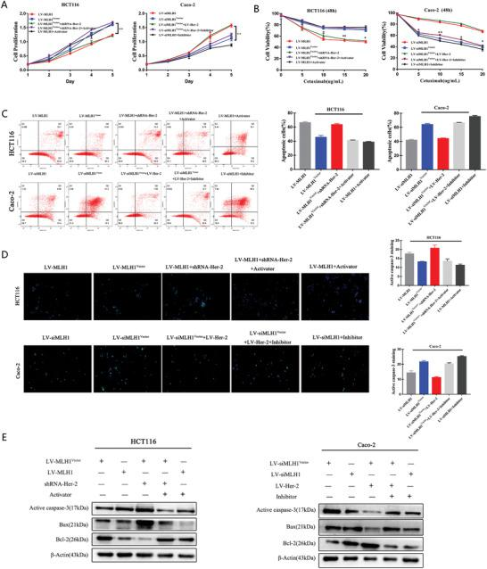 MLH1 depletion enhances CRC resistance to CTX by inducing the Her‐2/PI3K/AKT signaling pathway in vivo. HCT116 cells overexpressing MLH1 were treated with an activator of the PI3K/AKT signaling pathway, while MLH1 negative control HCT116 cells were transfected with shRNA‐Her‐2. MLH1‐knockdown Caco‐2 cells were treated with an inhibitor of the PI3K/AKT signaling pathway, while MLH1 negative control Caco‐2 cells were transfected with LV‐Her‐2. All CRC cells received CTX treatment for 48 h at the respective IC50 concentration unless otherwise indicated. A) CCK‐8 analysis of HCT116 cell proliferation with the above‐mentioned treatment. CRC cells were treated with the indicated treatments. B) Cells were treated with increasing concentrations of cetuximab (5, 10, 15, and 20 µg mL −1 ) for 48 h, and cell viability was determined by the CCK‐8 assay. C) FACS analysis of cell apoptosis in HCT116 and Caco‐2 cells with the above‐mentioned treatment. D) Caspase‐3 activation after CTX treatment, as indicated by green fluorescent staining. E) Expression of proapoptotic proteins (Bax and active caspase‐3) and an antiapoptotic protein (Bcl‐2) in CTX‐treated CRC cells. Data are presented as the mean ± SD from three independent experiments. * p
