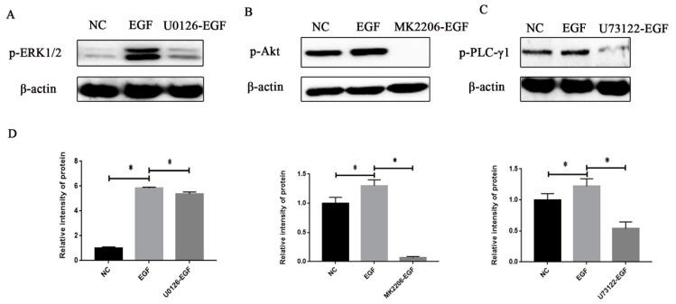 Effect of the protein inhibitor on signal protein activities in GMECs. ( A ) GMECs were treated with 500 nM MK2206 (Akt inhibitor) for 60 min and then stimulated with 50 ng/mL EGF for 60 min, to investigate the phosphorylation level of Akt. ( B ) GMECs were treated with 10 µM <t>U0126</t> (MEK inhibitor) for 60 min and then stimulated with 50 ng/mL EGF for 60 min, to investigate the phosphorylation level of ERK1/2. ( C ) GMECs were treated with 20 µM U73122 (PLC-γ1 inhibitor) for 15 min and then stimulated with 50 ng/mL EGF for 60 min, to investigate the phosphorylation level of PLC-γ1. ( D ) The band intensity was shown by Image J software. Values are presented as means ± SD of three independent experiments. * Means p