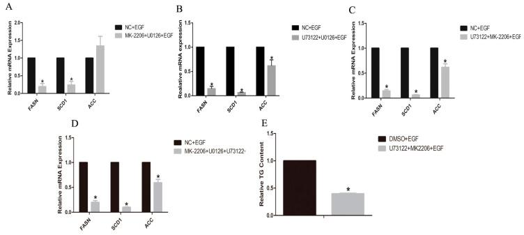 Effects of the combination of two or more inhibitors on the expressions of genes involved in lipid metabolism in GMECs. ( A ) GMECs were treated with 500 nM MK-2206 (Akt inhibitor), 10 µM U0126 (MEK inhibitor) and 50 ng/mL EGF for 24 h, to investigate the mRNA levels of genes involved in lipid metabolism in GMECs. ( B ) GMECs were treated with 20 µM U73122 (PLC-γ1 inhibitor), 10 µM U0126 (MEK inhibitor) and 50 ng/mL EGF for 24 h, to investigate the mRNA levels of genes involved in lipid metabolism in GMECs. ( C ) GMECs were treated with 20 µM U73122 (PLC-γ1 inhibitor), 500 nM MK-2206 (Akt inhibitor) and 50 ng/mL EGF for 24 h, to investigate the mRNA levels of genes involved in lipid metabolism in GMECs. ( D ) GMECs were treated with 20 µM U73122 (PLC-γ1 inhibitor), 500 nM MK-2206 (Akt inhibitor), 10 µM U0126 (MEK inhibitor) and 50 ng/mL EGF for 24 h, to investigate the mRNA levels of genes involved in lipid metabolism in GMECs. ( E ) GMECs were treated with 20 µM U73122, 500 nM MK-2206 and 50 ng/mL EGF for 24 h, to investigate TG content in GMECs. Values are presented as mean ± SD of three independent experiments. * Means p