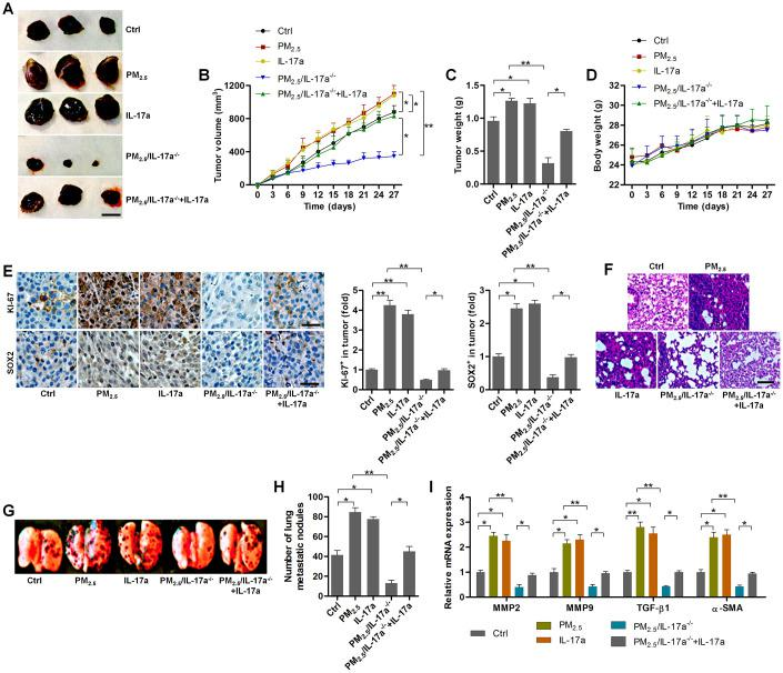 PM 2.5 -promoted tumor growth and metastasis are associated with IL-17a in xenograft mouse models. ( A ) Representative images of tumor samples isolated from each group of mice as indicated (n = 6). Scale bar, 1 cm. ( B ) Tumor volume was measured (n = 6). ( C ) Tumor weight was recorded (n = 6). ( D ) The body weight of mice was recorded (n = 6). ( E ) IHC staining was used to determine KI-67 and SOX2 expression levels in the tumor sections (n = 4). Scale bar, 100 μm. ( F ) H E staining of pulmonary tissues (n = 4; Scale bar, 100 μm) and ( G ) pictures of lung samples isolated from the indicated groups of mice to calculate the metastatic nodules on the surface of lungs (n = 6). ( H ) The number of lung metastatic nodules was quantified (n = 6). ( I ) RT-qPCR analysis was used to calculate the expression of metastasis-associated genes as displayed (n = 4). All data are expressed as mean ± SEM. * p