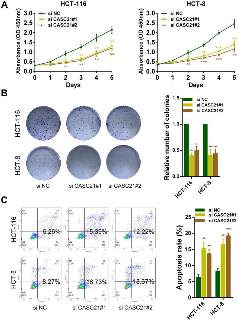 CASC21 promotes CRC cells growth in vitro . ( A ) CCK-8 assays of HCT-116 and HCT-8 cells transfected with CASC21 siRNAs. ( B ) HCT-116 and HCT-8 cells transfected with CASC21 siRNAs were seeded onto 6-well plates. The number of colonies was counted on the 14 th day after seeding. ( C ) Flow cytometric cell apoptosis assays used to assess the effect of CASC21 knockdown on cell apoptosis. All data represent mean ± SEM (n = 3-6). *P