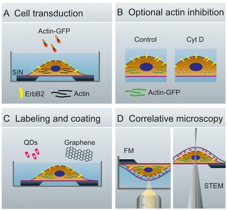 Schematics of whole cell preparation for the analysis of membrane proteins. (A) Transduction of SKBR3 cells, seeded on silicon microchips with a silicon nitride membrane, with actin-green fluorescent protein (GFP)-constructs and cultivation of cells for 40 h. (B) Cells remain untreated (Control, left) or are treated with Cytochalasin (Cyt) D (right). (C) Membranous ErbB2 is labeled with streptavidin coated quantum dots (QDs) via Affibody-biotin conjugates. The cells are covered with graphene to protect against evaporation of the liquid in the vacuum of the electron microscope. (D) Configuration for fluorescence microscopy (FM, left), and for scanning transmission electron microscopy (STEM, right).