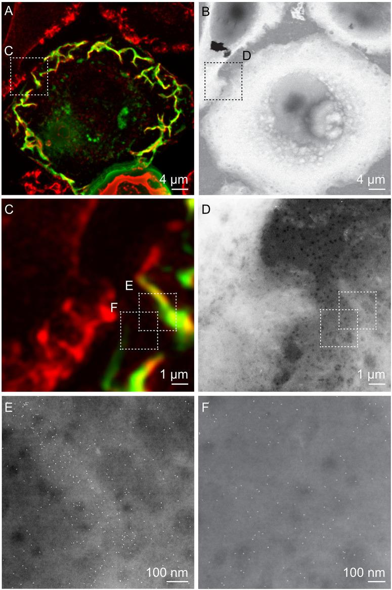 Correlative FM and STEM of whole breast cancer cells. (A,C) Cropped fluorescence micrographs of SKBR3 breast cancer cells showing cellular actin-GFP in green and QD-labeled membrane ErbB2 in red. Areas where both signals overlap appear yellow. Actin-containing ruffles can be identified as bright green and yellowish lines at the cell edges. (B,D) Corresponding STEM micrographs of graphene-covered breast cancer cells acquired at the same spots. B: Magnification M = 1,000 ×, D: M = 4,000 ×. (E,F) STEM micrographs of regions marked in C, and D acquired at higher magnification than in D. QD-labels appear as white dots. Membrane ruffle in E appears in a light gray shade compared to flat cell regions in F, appearing in a darker gray, E: M = 100,000×, F: M = 120,000×.