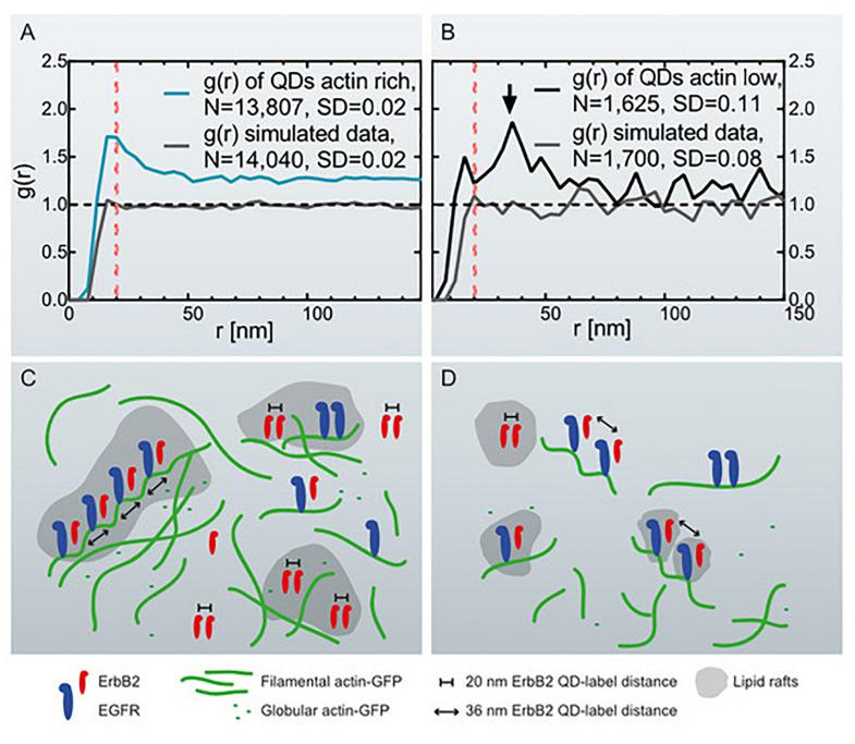 Graphs of the pair correlation function g ( r ) versus the radial distance r between QD-labels, collected at actin-rich- and actin-low cell regions with correlating schemes. (A) g ( r ) of QD-labels detected in actin-rich cellular regions collected from 27 images of 11 cells. The red dotted line marks g ( r ) = 20 nm. As comparison, g ( r ) of simulated data is included of randomly positioned labels with the same particle density (see Table 1 ). (B) g ( r ) of QD-labels in actin-low regions collected in 17 images of 8 cells. The arrow marks a peak at r = 36 nm. The red dotted line is at r = 20 nm. g ( r ) of simulated data of randomly positioned labels is also included. (C) Schematic representation of the assumed distribution of ErbB2 and EGFR homo- and heterodimers in relation to cortical actin filaments and lipid rafts in actin-rich, ruffled cell regions. EGFR is bound to actin filaments while ErbB2 can move freely in the membrane and lipid rafts. Those ErbB2 molecules assembled in ErbB2:EGFR heterodimers are bound to helical actin filaments with a pitch of 36 nm. The number of ErbB2 homodimers in ruffled regions outweighs the number of postulated heterodimers. (D) Actin-low, flat cell regions with fewer ErbB2 homodimers being present than in ruffled regions, and postulated heterodimers dominating the analysis. The ruffled regions contain a higher number of growth factor receptors than the flat regions.