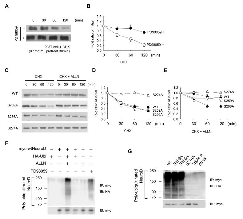 Extracellular signal-regulated kinase (ERK) pathway regulates the neurogenic differentiation 1 (NeuroD1) protein stability via ubiquitination. (A) Western blot analysis of NeuroD1 protein in the absence and presence of PD 98059, a mitogen-activated protein kinase (MEK) inhibitor. Cycloheximide (CHX) was added 30 min prior to the addition of PD 98059. (B) The NeuroD1 protein intensity shown in (a) was presented with respect to the value at t=0 (n=3). (C) Western blot analysis of Myc-tagged mutants of NeuroD1 protein at ERK phosphorylation sites with and without N-acetyl-Leu-Leu-norleucinal (ALLN), a proteasome inhibitor. CHX was added 30 min prior to adding ALLN. (D and E) NeuroD1 protein intensity shown in (c) was presented with respect to the value at t=0 (n=3). Note that the S274A mutant exhibited the highest half-life and ALLN increased the half-lives of the wild type (WT) as well as all mutants. (F) Western blot analysis showing the ubiquitination of NeuroD1 WT in the presence of ALLN. PD 98059 partially attenuated ubiquitination. (G) Myc-tagged mutants of S259A, S266A, S274A, or Triple-A were analyzed for ubiquitination. The experiments were repeated 3 times and the most representative results are shown in Fig. 3A, C, F and G. Note that S274A abolished ubiquitination, whereas S266A showed a lower level of ubiquitination compared to the WT.