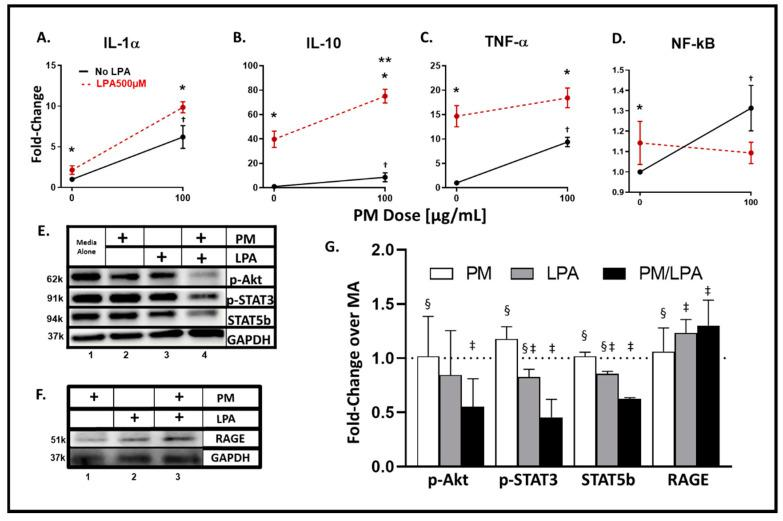 Analyte and transcription factor response to WTC-PM and LPA in RAW264.7 Supernatants were assayed after 24 h of WTC-PM and/or LPA exposure, n = 3. ( A ) IL-1α, ( B ) IL-10, ( C ) TNF-α, ( D ) NF-κB. All values reported as mean ± SD of fold change over PBS. Independent LPA exposure is denoted as the left red point. ( A – D ) Synergistic inflammatory expression of ( B ) IL-10 observed after WTC-PM/LPA co-exposure. ( D ) PM-induced NF-κB elaboration greater than that of PM/LPA co-exposure. ( E ) Immunoblots display p -Akt, p -STAT3, STAT5b, and GAPDH expression: Lane 1 Media Alone, Lane 2 WTC-PM, Lane 3 LPA, Lane 4 WTC-PM/LPA. ( F ) Immunoblots display RAGE and GAPDH expression: Lane 1 WTC-PM, Lane 2 LPA, Lane 3 WTC-PM/LPA. ( G ) Densitometry analyses of immunoblots; fold change over media alone (MA). * denotes p
