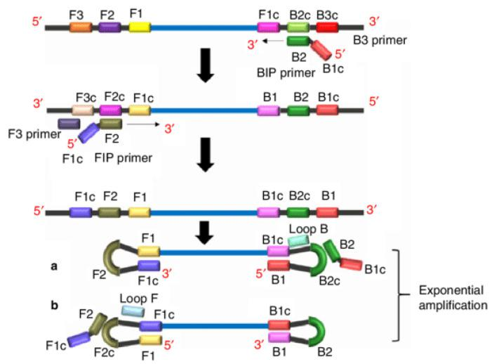 Schematic representation of loop-mediated amplification reaction and its principle. Unlike PCR primer design, LAMP is characterized with four different primers, specifically designed to recognize six distinct regions of the target DNA. Forward inner primer (FIP) consists of a F2 region at the 3'-end and an F1c region at the 5'-end. While the F3 primer (forward outer primer) consists of a F3 region which is complementary to the F3c region of the template sequence. The Backward Inner primer (BIP) is made up of a B2 region at the 3'-end and a B1c region at the 5'-end. B3 primer (backward outer primer) consists of a B3 region which is complementary to the B3c region of the template sequence. In regards to LAMP reaction, amplification begins when F2 region of FIP anneals to F2c region of the target DNA and initiates complementary strand synthesis, and F3 primer anneals to the F3c region of the target and extends, displacing the FIP linked complementary strand. This displaced strand forms a loop at the 5'-end, which provides the template for BIP, and B2 anneals to B2c region of the template. DNA synthesis is initiated, which results in the formation of a complementary strand and opening of the 5'-end loop. Subsequently, B3 anneals to B3c region of the target DNA and extends, displacing the BIP linked complementary strand, which forms a dumbbell-shaped DNA. The nucleotides are added to the 3'-end of F1 by Bst DNA polymerase, which extends and opens up the loop at the 5'-end. The dumbbell-shaped DNA is converted to a stem–loop structure (a and b), which initiates LAMP cycling (second stage of LAMP reaction). The amplicons formed are a mixture of stem–loop and cauliflower-like structures with multiple loops [ 49 ].