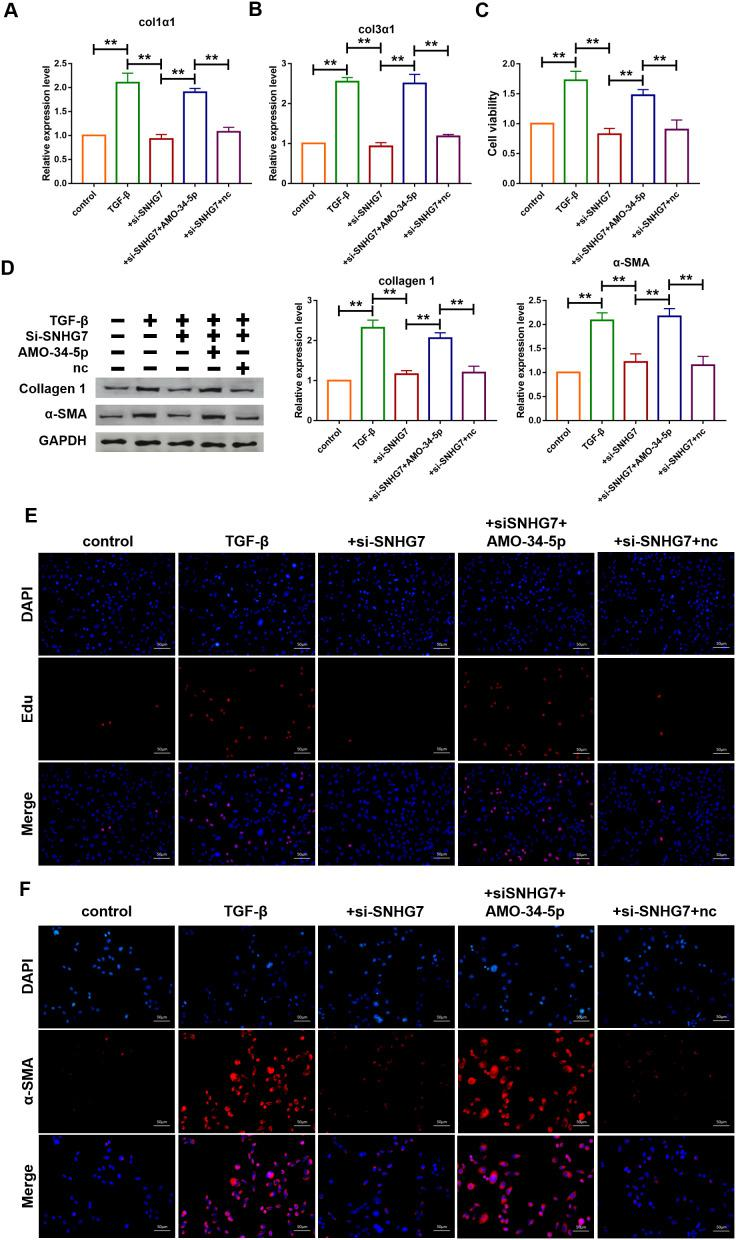 Silencing of lncRNA SNHG7 alleviated TGF-β1-induced fibrogenesis in cardiac fibroblasts. ( A , B ) Suppression of SNHG7 attenuated the increase in collagen 1 α 1 and collagen 3 α 1 expression induced by TGF-β1, as measured by qRT-PCR; GAPDH mRNA served as an internal control. Data was presented as mean ± SEM; one-way ANOVA was used for the statistical analysis. n=5 independent cell cultures. ( C ) Western blotting analysis showing that knockdown of SNHG7 attenuated TGF-β1-induced fibrotic protein expression (Collagen I and α-SMA); GAPDH served as a loading control. Data was presented as mean ± SEM; one-way ANOVA was used for the statistical analysis. n=5 independent cell cultures. ( D ) MTT assay for the assessment of cell viability. Transfection of si-SNHG7 with or without AMO-34-5p in cardiac fibroblasts treated with TGF-β1 for 24h. Data was presented as mean ± SEM; one-way ANOVA was used for the statistical analysis. n=5 independent cell cultures. ( E ) EdU staining for the assessment of cell proliferation in cardiac fibroblasts inhibiting SNHG7 in the presence or absence of AMO-34-5p mimics. Scale bars represented 50 μm. ( F ) Representative images of immunofluorescence staining showing that knockdown of SNHG7 abated the TGF-β1-induced fibroblast-myofibroblast transition, which was promoted by AMO-34-5p. Scale bars represented 50 μm. ** P