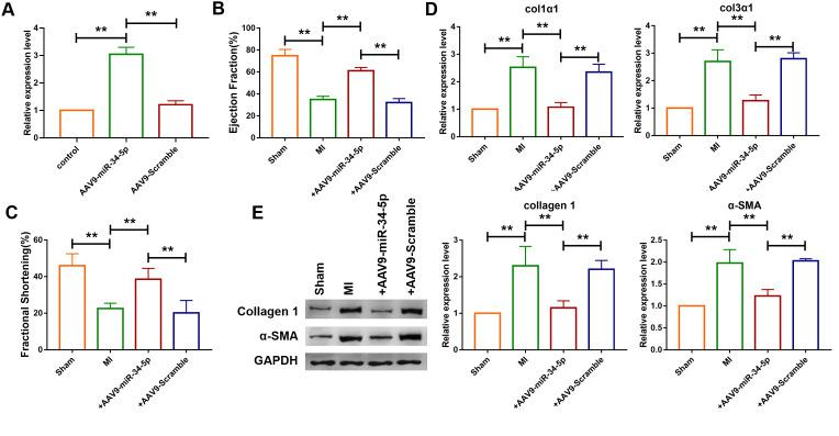 Overexpression of miR-34-5p ameliorated cardiac fibrosis in the mice after MI. ( A ) Intravenous injection of AAV9-miR-34-5p via tail increased miR-34-5p expression in normal mice, as measured by qRT-PCR; GAPDH served as an internal control, and AAV9-scramble served as a negative control. Data was presented as mean ± SEM; two-tailed t test was used for the statistical analysis. n=5 independent cell cultures. ( B , C ) Four weeks after MI, echocardiographic imaging showed that the overexpression of miR-34-5p improved ejection fraction (EF) and fraction shortening (FS). Data was presented as mean ± SEM; one-way ANOVA was used for the statistical analysis. n=12 mice per group. ( D ) qRT-PCR analysis showing that AAV9-miR-34-5p injection reversed the up-regulation of collagen 1α1 and collagen 3α1 in MI mice; GAPDH mRNA served as an internal control, and AAV9-scramble served as an additional control. Data was presented as mean ± SEM; one-way ANOVA was used for the statistical analysis. n=6 mice per group. ( E ) Protein levels of collagen 1 and α-SMA were measured by western blot; GAPDH served as an internal control. Data was presented as mean ± SEM; one-way ANOVA was used for the statistical analysis. n=6 mice per group. ** P