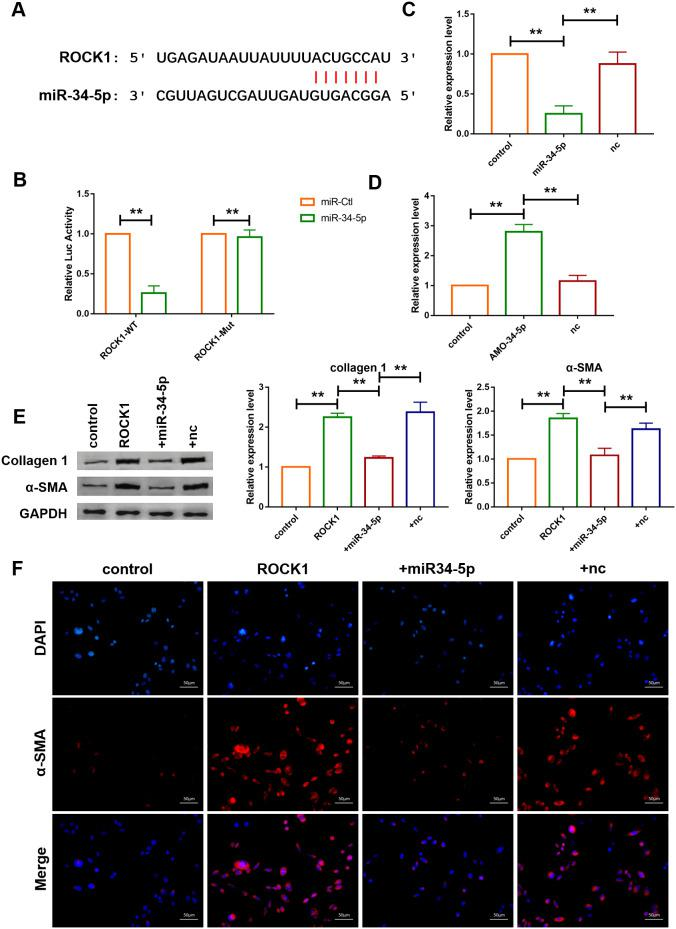 ROCK1 was a direct target of miR-34-5p and mediated the anti-fibrotic function of miR-34-5p. ( A ) The predicted binding sites of ROCK1 and miR-34-5p. ( B ) Luciferase reporter activities of chimeric vectors carrying the luciferase gene and a fragment of the 3' UTR of ROCK1 containing the wild type or mutant miR-34-5p binding sites. Data was presented as mean ± SEM; two-tailed t test was used for the statistical analysis. n=5 independent cell cultures. ( C , D ) qRT-PCR analysis showing that overexpression of miR-34-5p inhibited the mRNA level of ROCK1 and AMO-34-5p transfection elevated the mRNA level of ROCK1; GAPDH mRNA served as an internal control. Data was presented as mean ± SEM; one-way ANOVA was used for the statistical analysis. n=5 independent cell cultures. ( E ) Protein levels of collagen 1 and α-SMA were measured by western blotting; GAPDH served as an internal control. Data was presented as mean ± SEM; one-way ANOVA was used for the statistical analysis. n=6 independent cell cultures. ( F ) Representative images of immunofluorescence staining showing that overexpression of miR-34-5p diminished fibroblast-myofibroblast transition induced by forced expression of ROCK1. Scale bars represented 50 μm. ** P