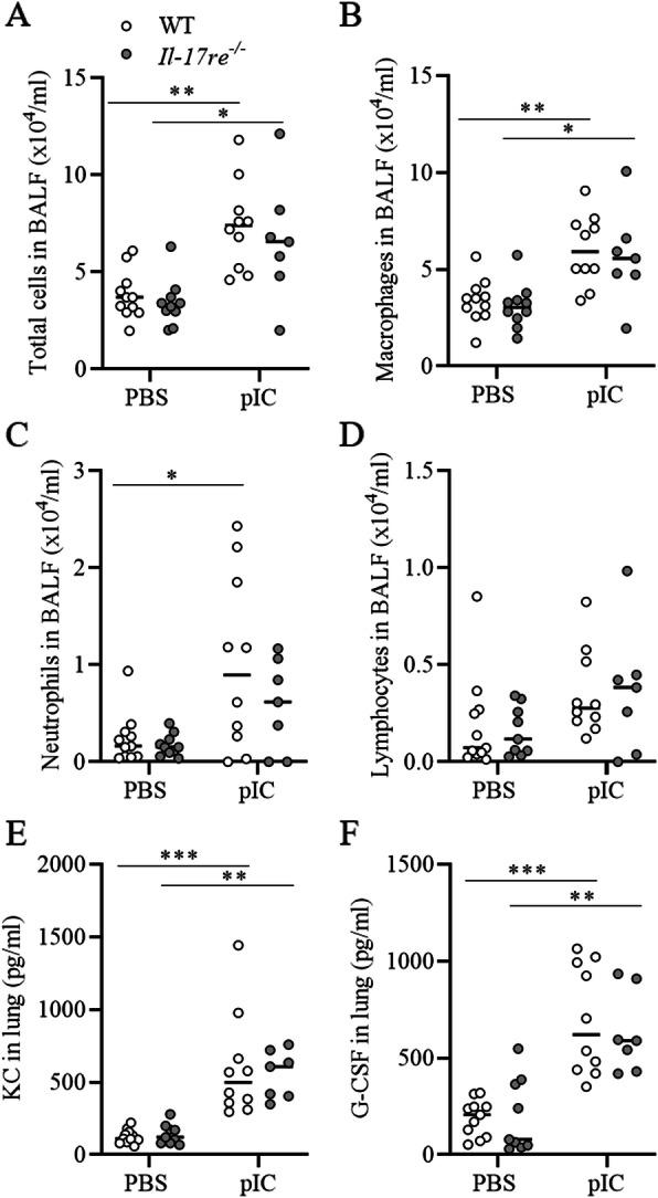 IL-17RE does not mediate pIC-induced lung inflammation in the absence of experimental allergic asthma. WT and Il-17re −/− mice were intranasally challenged with 100 μg pIC or PBS as control and analyzed after 24 h. Numbers of total cells ( a ), macrophages ( b ), neutrophils ( c ), and lymphocytes ( d ) were determined in BAL fluids. Concentrations of KC ( e ) and G-CSF ( f ) were measured in lung tissue. Data were compared by Two-way ANOVA with Tukey's post-test and are shown as the mean ± SEM. * p