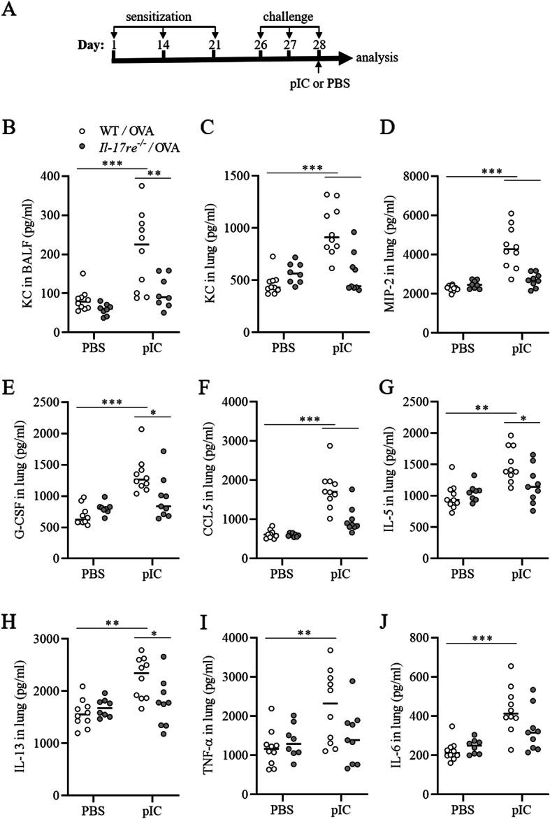 pIC-exacerbated lung inflammation depends on IL-17RE. OVA-sensitized and challenged WT and Il-17re −/− mice were intranasally treated with 100 μg pIC or PBS as control. a Schema of the experimental protocol to study pIC-exacerbated OVA-induced allergic lung inflammation. Mice were treated with pIC or PBS as control 2 h after the final OVA challenge. BAL fluid concentrations of KC ( b ) and lung tissue concentrations of KC ( c ), MIP-2 ( d ), G-CSF ( e ), CCL5 ( f ), IL-5 ( g ), IL-13 ( h ), TNF-α ( i ), and IL-6 ( j ) were measured 22 h after treatment with pIC or PBS. Data were compared by Two-way ANOVA with Tukey's post-test and are shown as the mean ± SEM. *p