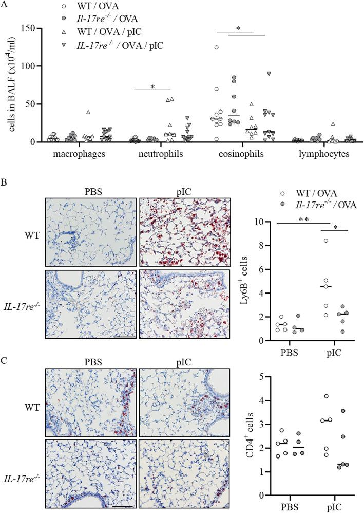 IL-17RE deficiency affects numbers of inflammatory cells in lung tissue. Asthmatic WT and Il-17re −/− mice were intranasally treated with 100 μg pIC or PBS as control 2 h after the final OVA challenge and analyzed after 22 h. a Numbers of immune cells in BAL fluids. b Representative IHC of Ly6B ( b ) and CD4 ( c ) and quantification of Ly6B + and CD4 + cells. Data were compared by Two-way ANOVA with Tukey's post-test and are shown as the mean ± SEM. *p