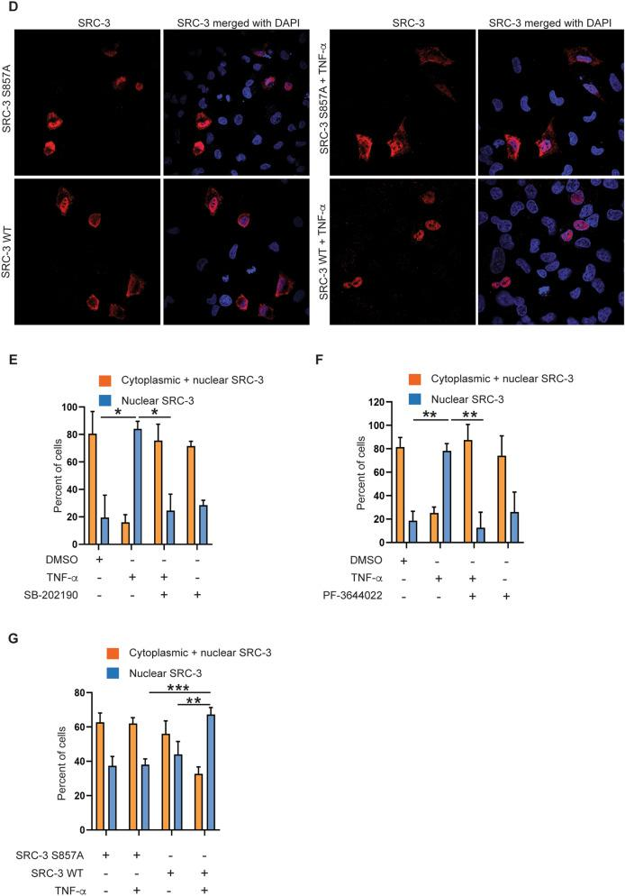 Activation of p38 MAPK and MK2 is required for efficient nuclear translocation of SRC-3 in response to TNF-α. ( A , B ) p38 MAPK and MK2 is involved in nuclear translocation of SRC-3. A549 WT cells were seeded on coverslip and left overnight. The next day, cells were treated with either DMSO, 10 ng/ml TNF-α or <t>SB-202190</t> ( A ) or 10 μM PF-3644022 ( B ) separately, or in combination with SB-202190 ( A ) or PF-3644022 ( B ) for 30 min followed by TNF-α stimulation for 60 min. Representative images of the SRC-3 WT A549 cells stained for SRC-3 (red) using anti-SRC-3 antibody and nucleus ( blue, DAPI). The specificity of the antibody for SRC-3 was verified using SRC-3 KO cells (Supplementary Fig. S2 A,B). ( C ) Generation of SRC-3 KO A549 cells. Expression of SRC-3 and actin in SRC-3 WT and SRC-3 KO A549 cells were analyzed by Western-blotting. ( D ) SRC-3 WT is more efficiently translocated into nucleus than SRC-3 S857A in response to TNF-α. SRC-3 KO A549 cells were seeded in 24 well plate and left overnight. The next day, the cells were transfected with 200 ng of vector expressing either SRC-3 wild type (WT)-FLAG or SRC-3 S857A-FLAG. After 48 h, the cells were either stimulated with 10 ng/ml TNF-α for 60 min or left unstimulated. Representative images of the SRC-3 KO A549 cells stained for SRC-3 (red, anti-SRC-3) and nucleus (blue, DAPI). ( E – G ) Quantitative presentation of the distribution of SRC-3 in conditions described in ( A , B , D ) respectively. The cellular localization of SRC-3 was determined as either cytoplasmic and nuclear or mainly nuclear. The SRC-3 overlapping nucleus (DAPI) is considered nuclear and the SRC-3 overlapping the nucleus and present around and outside the nucleus is considered cytoplasmic + nuclear. For quantification, minimum 100 cells were counted for each condition described in ( A , B , D ) and expressed in percentage. Data in ( E , F , G ) are presented as mean ± SD of three replicates. Unpaired t-test was used for analysis of significance between groups compared in the figure. * P