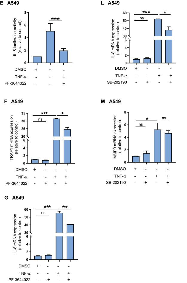 SRC-3 is required for MK2-mediated induction of IL-6 expression in response to TNF-α. ( A , B ) SRC-3 is involved in NF-κB activation. ( A ) SRC-3 KO A549 cells were co-transfected with 120 ng κB-ConA-luc vector and 50 ng of either pSG5 empty vector, SRC-3 wild type (WT)-FLAG or SRC-3 S857A-FLAG vector. After 48 h TNF-α was added (if not other indicated 10 ng/ml for 5 h) before determination of luciferase activity relative to pSG5. ( B ) A549-NF-κB-Luc cells were transfected with scrambled siRNA or SRC-3 siRNA and 48 h later stimulated with TNF-α or left unstimulated. Nontransfected cells were pretreated with PF-3644022 for 30 min before TNF-α treatment. Luciferase activities are shown relative to unstimulated scrambled siRNA. ( C , D ) SRC-3 is involved in TNF-α-induced IL-6 expression. SRC-3 WT and SRC-3 KO A549 cells were stimulated with TNF-α for 2 h or left unstimulated. mRNA expression of IL-6 ( C ) and MMP9 ( D ) were determined relative to GAPDH and TFRC. Fold changes are presented relative to unstimulated SRC-3 WT cells. ( E , J ) MK2 and p38 MAPK activity are required for transcription of IL-6. A549 cells were transfected with 120 ng pGL3-IL-6-promoter vector and after 48 h treated for 30 min with 0.2 μl DMSO, 10 μM PF-3644022 ( E ) or SB-202190 ( J ) followed by stimulation with TNF-α. Luciferase activities are shown relative to DMSO. ( F – H ) MK2 is involved in TNF-α induced TRAF1 ( F ), IL-8 ( G ) and ICAM1 ( H ) mRNA expression. A549 cells pretreated with DMSO or 10 μM PF-3644022 for 30 min were stimulated with TNF-α for 2 h or left unstimulated. MRNA expression were determined relative to GAPDH and TFRC. Fold changes are presented relative to DMSO. ( I ) p38 MAPK is involved in NF-κB-dependent luciferase activity. A549-NF-κB-Luc cells were pretreated with DMSO or SB-202190 and then stimulated with TNF-α or left unstimulated. Luciferase activities are shown relative to DMSO. ( K – M ) p38 MAPK is involved in TNF-α-induced IL-6 ( K ) and IL-8 ( L ) but not MMP9 ( M ) mRNA expression. A549 cells pretreated with DMSO or 10 μM SB-202190 for 30 min were stimulated with TNF-α or left unstimulated. MRNA expression were determined relative to GAPDH and TFRC. Fold changes are presented relative to DMSO. Data are presented as mean ± SD (n = 3). Unpaired t-test; * P