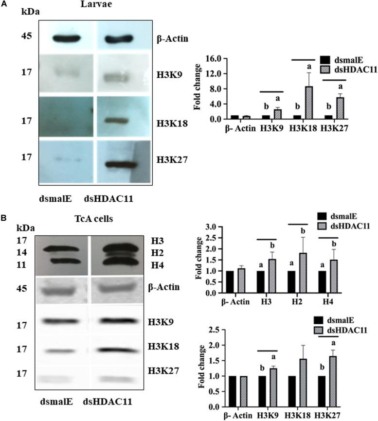 HDAC11 knockdown affects acetylation levels of histone H3 in T. castaneum . (A) The total protein extracted from dsHDAC11 or dsmalE injected larvae were resolved on SDS-PAGE gels, transferred to western blots, and probed with antibodies recognizing Acetyl-Histone H3 (Antibody Sampler Kit # 9927-Cell Signaling (H3K9, H3K14, H3K18, H3K27, and H3K56). ß-actin served as a loading control. The <t>HRP-linked</t> <t>IgG</t> (#7074-Cell Signaling) was used as a secondary antibody. Band densities were determined by Image-J software and normalized with loading control protein-ß-Actin. The Mean + SE ( n = 3) band densities are shown. Means marked with different letters are significantly different from each other, P ≤ 0.05 by ANOVA. (B) Acetylated-Lysine (Ac-K 2 -100) MultiMab TM Rabbit mAb mix #9814 was used to detect acetylation levels of proteins extracted from TcA cells exposed to dsHDAC11 or dsmalE. The acetylation levels of histone H3K9, H3K18 and H3K27 increased in HDAC11 knockdown cells were detected as described in Figure 7A . The band densities were quantified and plotted as described in Figure 7A . The Mean + SE ( n = 3) band densities are shown. Means marked with different letters are significantly different from each other, P ≤ 0.05 by ANOVA.