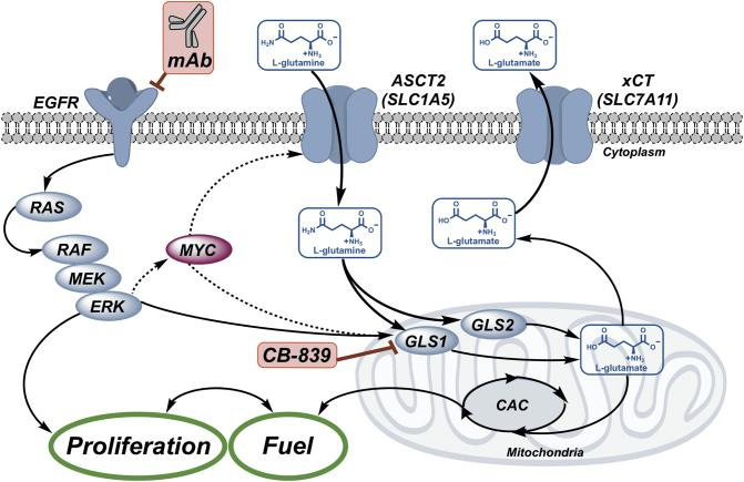 """Glutamine (Gln) and EGFR cooperate to promote growth and proliferation. Gln """"fuels"""" the citric acid cycle (CAC) as required for signal transduction-mediated growth and proliferation. Glutamine transport is mediated through solute carrier transporters including ASCT2 ( SLC1A5 ), a key Gln transporter in CRC, and xCT ( SLC7A11 ), an exchanger of glutamine-derived glutamate (Glu) and cystine. Intracellular Gln is metabolized by mitochondrial enzymes, glutaminase 1 and 2 (GLS1/2), to Glu, which fuels the CAC and contributes to redox balance via glutathione biosynthesis, a process that requires exchange via xCT ( SLC7A11 ). This work explored the combination of an EGFR neutralizing mAb, cetuximab, with GLS1 inhibition using CB-839 to enhance the anti-tumor efficacy of cetuximab."""