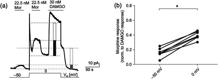 The observed voltage sensitivity occurs also in physiological K + concentrations . (a) Representative recording ( n = 7) of outward K + currents measured in HEK293T cells expressing wild‐type μ receptors (MOP‐wt) and K ir 3.4 channels. K ir 3.X currents were evoked by 22.5 nM morphine (Mor; non‐saturating, also see Section 2 ) and 30 nM DAMGO (saturating) and measured at −50 and 0 mV. Levels that were used for calculation of maximum responses are depicted as light grey line (−50 mV) or dark grey line (0 mV), and amplitude height is shown by boxes (morphine response: filled box; saturating DAMGO response: empty box). Voltage protocol is depicted at the bottom; note that depolarization steps shift both basal and active currents due to the current–voltage relationship of the channel (see Figure S2 ). (b) K ir 3.X current responses evoked by non‐saturating morphine concentrations were normalized to the maximum DAMGO response at respective membrane potentials ( n = 7, for further explanation of evaluation, see Section 2 ). Responses at −50 and 0 mV were compared in the same recording. * P
