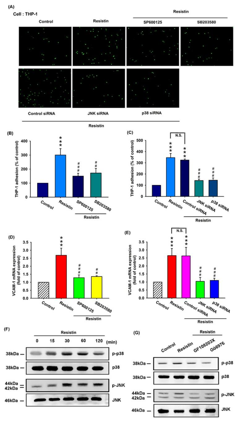 The p38 and JNK pathways are involved in resistin-enhanced VCAM-1 synthesis and monocyte adhesion. ( A – E ) OASFs were pretreated with inhibitors of JNK (SP600125) and p38 (SB203580) and their respective siRNAs, then incubated with resistin for 24 h. The adherence of THP-1 cells to cultured OASFs was photographed by fluorescence microscopy ( A ) and quantified (n = 4) ( B , C ). The transcription levels of VCAM-1 were quantified by the RT-qPCR assay (n = 4) ( D , E ). The extent of phosphorylation of p38 and JNK under resistin (10 ng/mL) stimulation (for 0, 15, 30, 60, or 120 min) was quantified by Western blotting (n = 3) ( F ). ( G ) OASFs were pretreated with a PKC inhibitor (GF109203x) or a specific PKCα/β inhibitor (Gö6976), then incubated with resistin for 24 h. The extent of p38 and JNK phosphorylation was quantified by Western blotting (n = 3). *** p