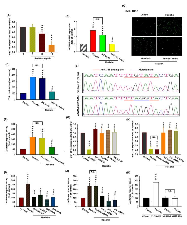 Resistin promotes VCAM-1 expression and monocyte adhesion by suppressing miR-381 expression. ( A ) OASFs were incubated with resistin (0, 1, 3, or 10 ng/mL), and the extent of miR-381 expression was quantified by the RT-qPCR assay. ( B – D ) OASFs were transfected with miR-381 mimic or control siRNA, then stimulated with resistin. The extent of VCAM-1 transcription was examined by the RT-qPCR assay (n = 4) ( B ). THP-1 cells were subsequently added to OASFs for 1 h. The adherence of THP-1 cells to cultured OASFs was photographed by fluorescence microscopy and quantified (n = 4) ( C , D ). ( E ) Schematic demonstration of wt-VCAM-1 3′-UTR and mut-VCAM-1 3′-UTR. MiR-381 bound with wt-VCAM-1 3′-UTR but not mut-VCAM-1 3′-UTR. ( F ) OASFs were transfected with the wt-VCAM-1-3'-UTR plasmid with or without miR-381 mimic, then stimulated with resistin. Relative luciferase activity was quantified (n = 5). ( G , H ) OASFs were pretreated with inhibitors of PKC, JNK, and p38 (n = 4) ( G ) and their respective siRNAs (n = 5) ( H ), then incubated with resistin for 24 h. miR-381 expression levels were quantified by the RT-qPCR assay. ( I , J ) OASFs were treated with inhibitors of PKC, JNK, and p38 (n = 5) ( I ) or their respective siRNAs (n = 5) ( J ) and transfected with the wt-VCAM-1-3'-UTR plasmid before being incubated with resistin for 24 h. Relative luciferase activity was quantified. ( K ) OASFs were transfected with the wt-VCAM-1-3'-UTR plasmid or mut-VCAM-1-3'-UTR plasmid, then stimulated with resistin for 24 h. Relative luciferase activity was quantified (n = 5). ** p