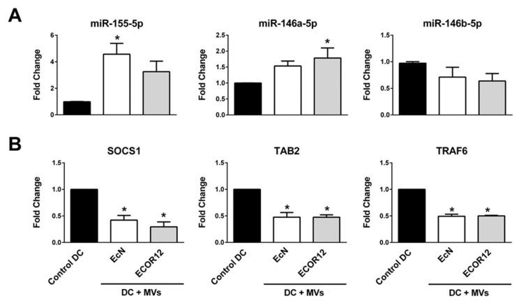 Correlation between expression levels of miR-155-5p, miR-146a-5p and miR-146b-5p and their targets at a short time post-stimulation. Immature mo-DCs were stimulated with EcN or ECOR12 MVs for 6 h. ( A ) Relative levels of the indicated miRNAs and ( B ) relative levels of the known target mRNAs, SOCS1, TAB2 (miR-155-5p) and TRAF (miR-146-5p), were assessed by RT-qPCR and normalized, as described in Figure 6 and Figure 7 's legends, respectively. Data are presented as fold changes compared to untreated control cells (four independent biological experiments which were performed in triplicate). Statistical differences were evaluated by one-way ANOVA, followed by Bonferroni's test. * Significance against untreated control cells.