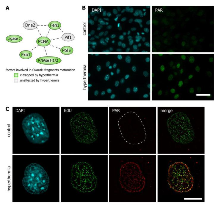 Hyperthermia induces DNA replication-associated poly(ADP-ribosyl)ation (PARylation). ( A ) The network of proteins involved in the maturation of Okazaki fragments in human cells. Proteins identified as c -trapped in response to hyperthermia are shown in green ellipses. ( B ) HEK293 cells were subjected to hyperthermia (45 °C, 30 min) and stained with antibodies against PAR. Control represents HEK293 cells that were not exposed to hyperthermia. The DNA was stained with 4,6-diamino-2-phenylindole (DAPI) (blue). Epifluorescence microscopy analysis was performed. Scale bar: 40 µm. ( C ) HEK293 cells were pulse-labeled with 5-ethynyl-2'-deoxyuridine (EdU) (10 µM, 30 min), subjected to hyperthermia (45 °C, 30 min) and stained with antibodies against PAR. Control represents untreated HEK293 cells. EdU was revealed by Click Chemistry; the DNA was stained with DAPI. Structured illumination microscopy (SIM) analysis was performed. Scale bar: 5 µm.