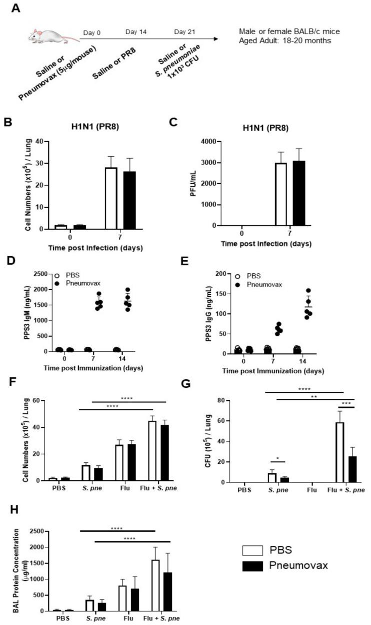 Impact of influenza on pneumococcal vaccine effectiveness during S. pneumoniae infection in aged lung . ( A ) Aged adult (18–20 months) mice received a subcutaneous injection of PBS or Pneumovax (5 mg/mouse) on day 0. On day 14 post vaccination, mice were intranasally instilled with PBS or influenza (A/Puerto Rico/8/1934, H1N1) prior to secondary intranasal instillation with S. pneumoniae (1 × 10 3 CFU) on day 7 post influenza. ( B ) Total cell counts and ( C ) viral titer were assessed in BAL collected from PBS- and Pneumovax-treated mice on day of influenza. ( D ) IgM and ( E ) IgG PPS3 antibody levels were assessed in serum collected on day 7 and 14 post vaccination. ( F ) Total cell counts, ( G ) bacterial titers, and ( H ) protein concentration in BAL collected at 24 h post-secondary S. pneumoniae infection were quantified in aged adult lung. Student's t -test: * p