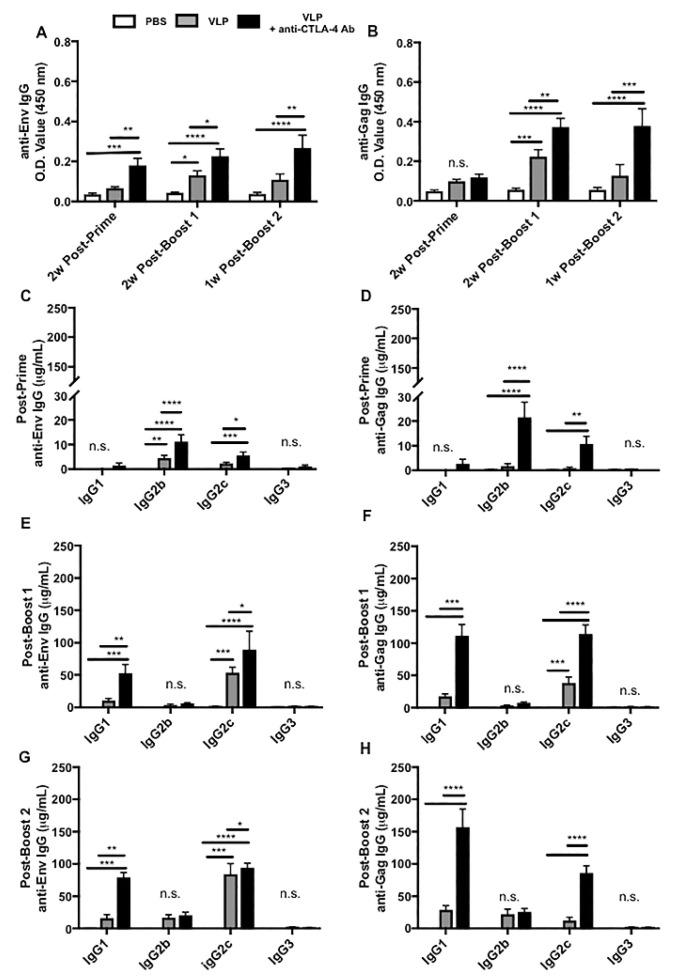 CTLA-4 blockade amplifies serum HIV Gag- and Env-specific antibody responses. Post-prime serum was collected 13 days after the first VLP immunization; Post-boost 1 serum was collected 11–13 days after the second VLP immunization. Post-prime and Post-boost 1 time points analyzed serum from 10 mice per immunization group from Cohorts 1 and cohorts 2. The Post-boost 2 time point analyzed serum from the 15 mice (5 per group) in Cohort 2 and was collected 7 days after the third VLP immunization. ( A ) Total Env-specific IgG and ( B ) total Gag-specific IgG were analyzed through ELISA. Quantitative ELISAs with standard curves for IgG1, IgG2b, <t>IgG2c,</t> and IgG3 were performed on all serum samples from Cohorts 1 and 2 to detect HIV Env- and Gag-specific IgG subtypes. Shown at each of the following time points: ( C ) post-prime, ( D ) Env post-prime Gag, ( E ) post-boost 1 Env, ( F ) post-boost 1 Gag, ( G ) post-boost 2 Env, and ( H ) post-boost 2 Gag IgG subtypes. The results above are the cumulative results of two independent experiments. P-values were determined by one-way ANOVA and Tukey post-hoc analysis for multiple comparisons. A line on top of two groups indicates statistical differences between these two groups. **** p
